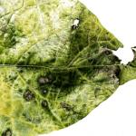 Inky leaf 2